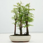 Metasequoia Bonsai Group