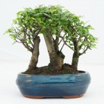 Chinese Elm Group